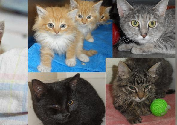 Feline Infectious Peritonitis Fip Spca Of Martinsville And Henry County